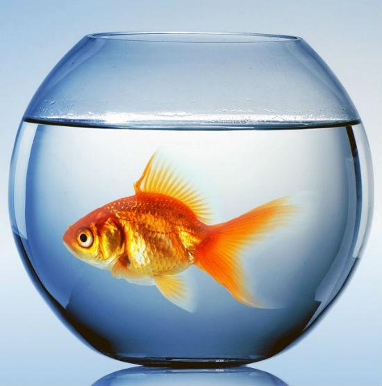 Аквариум с золотой рыбой.